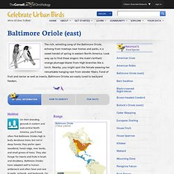 Baltimore Oriole (east) & Celebrate Urban Birds - StumbleUpon