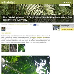 """The """"Walking trees"""" of Central and South America move a few centimeters every day"""