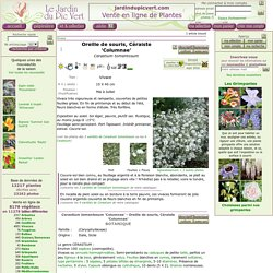 Cerastium tomentosum Columnae - Oreille de souris, Céraiste