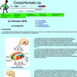 Le cerveau - ou le système nerveux central