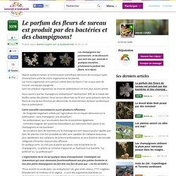 Le parfum des fleurs de sureau est produit par des bactéries et des champignons!