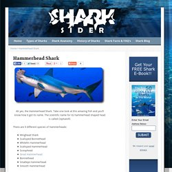 Check Out These Amazing Hammerhead Shark Facts!