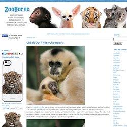 Baby White Cheeked Gibbon