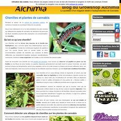 Chenilles et plantes de cannabis