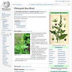 Chénopode Bon-Henri