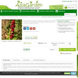 Epinard-fraise, Chenopodium capitatum