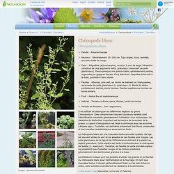 Chénopode blanc, Chenopodium album - Fleurs