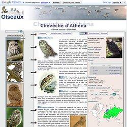 Chevêche d'Athéna - Athene noctua