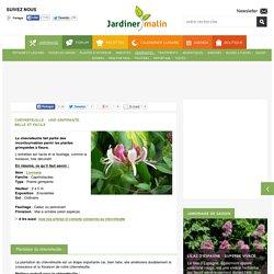 Chèvrefeuille : plantation, taille et entretien du chèvrefeuille