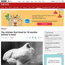 The chicken that lived for 18 months without a head