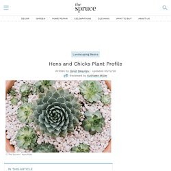 Hens and Chicks Plant: Care and Growing Guide