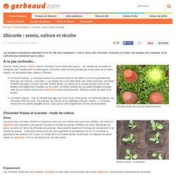 Chicorée : semis, culture et récolte