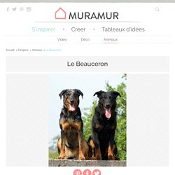 Tout sur la race de chien Beauceron