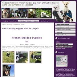 French Bulldog Puppies for Sale Archives - Maltese Puppies