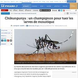 Chikungunya : un champignon pour tuer les larves de moustique