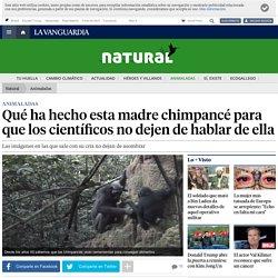 Qué ha hecho esta madre chimpancé para que los científicos no dejen de hablar de ella