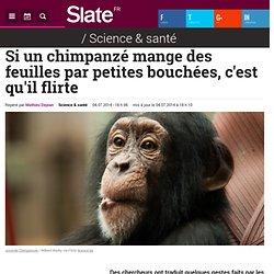 Si un chimpanzé mange des feuilles par petites bouchées, c'est qu'il flirte