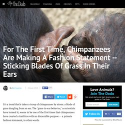 For The First Time, Chimpanzees Are Making A Fashion Statement