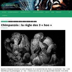 Chimpanzés : la règle des 3 « hoo » - L'Animal & L'Homme