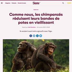 Comme nous, les chimpanzés réduisent leurs bandes de potes en vieillissant