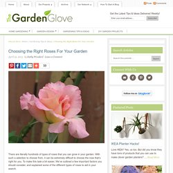 Choosing the Right Roses For Your Garden