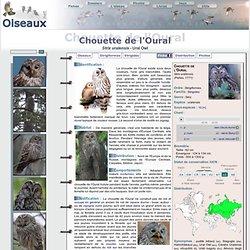 Chouette de l'Oural - Strix uralensis