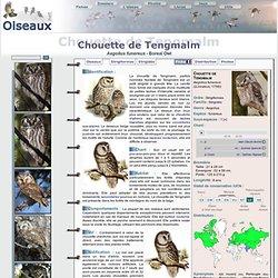 Chouette de Tengmalm - Aegolius funereus