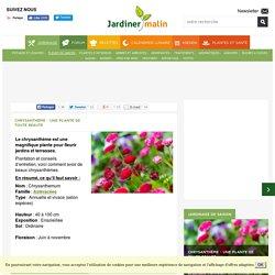 Chrysanthème : plantation, culture et entretien des chrysanthemes