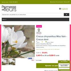 Crocus chrysanthus Miss Vain - Crocus doré - Crocus des neiges - Floraison blanc pur très précoce, en hiver.