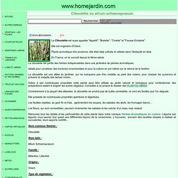 Ciboulette ou allium schoenoprasum, fiche technique complète