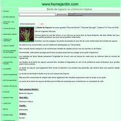 Barbe de capucin ou cichorium intybus, fiche technique complète