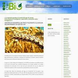 Chilebio» Blog Archive » Científicos desarrollan trigo tolerante a la sequía incorporando un gen de uva