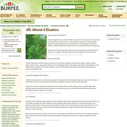 How to Grow Cilantro - Seeds and Plants, Gardening Tips and Advice - Burpee