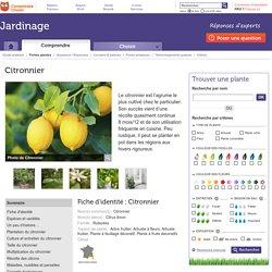 Citronnier: planter et entretenir les citronniers