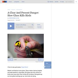 A Clear And Present Danger: How Glass Kills Birds