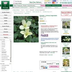 clematis-icirrhosai-jingle-bells-p-60915