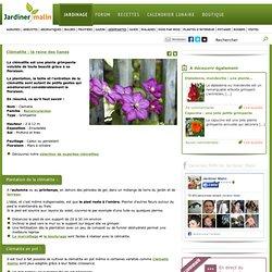 Clematite : plantation, taille et conseils d'entretien