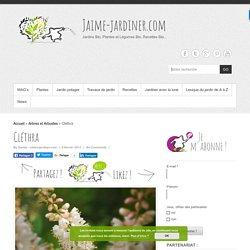 Cléthra - Semer, planter, diviser, entretenir, tailler - Toutes les infos avec jaime-jardiner.com