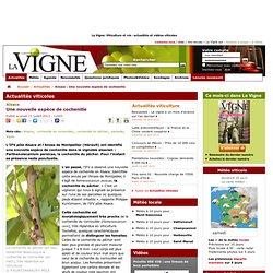 LA VIGNE 11/07/13 Alsace - Une nouvelle espèce de cochenille (Parthenolecanium persicae)