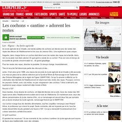 Les cochons « cantine » adorent les restes - 23/02/2000 - LaDepeche.fr