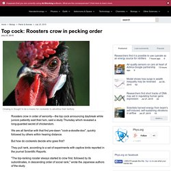 Top cock: Roosters crow in pecking order