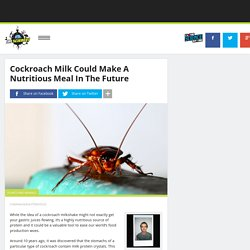 Cockroach Milk Could Make A Nutritious Meal In The Future