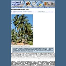 Cocos nucifera (Coconut)