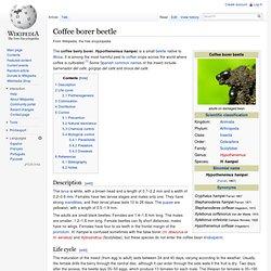 Coffee borer beetle