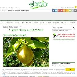 Cognassier, Cydonia oblonga : conseils de culture