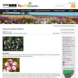 Coleonema pulchellum