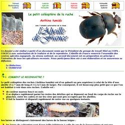 Le petit coléoptère de la ruche Aethina tumida