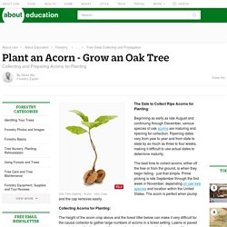 Collect and Plant an Acorn - Grow an Oak Tree