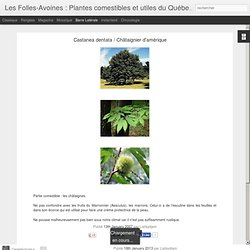 Plantes comestibles et utiles du Québec: Castanea dentata / Châtaignier d'amérique