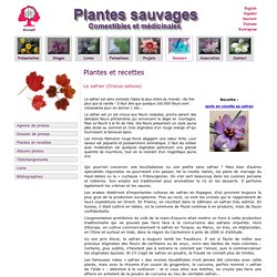 Le safran - Crocus sativus